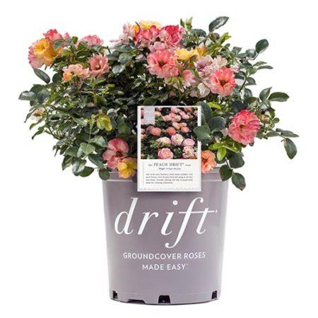 Drift Peach Rose Plant with Vibrant Peach Flowers
