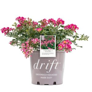 Drift Pink Rose Plant with Vibrant Pink Blooms