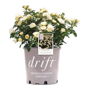 Drift Popcorn Rose Plant with Buttery Yellow Blooms