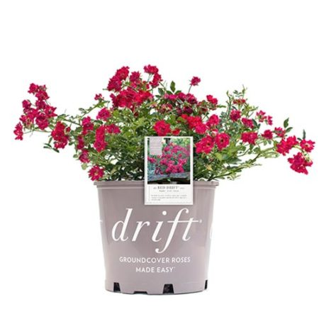 Drift Red Rose Plant with Vibrant Red Blooms