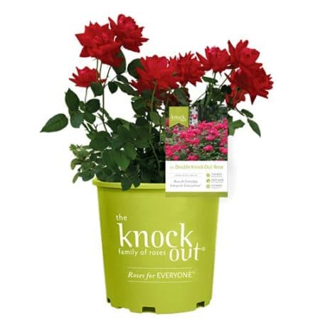 Knock Out Red Double Rose Plant with Vibrant Cherry Red Blooms