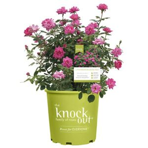 Knock Out Pink Double Rose Plant with Bright Bubblegum Pink Blooms