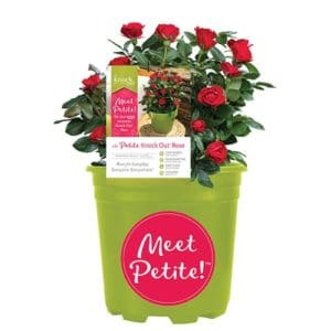 Petite Knock Out Rose with Fire Engine, Non Fading Blooms