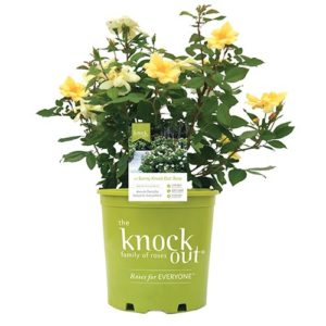 Knock Out Sunny Rose Plant with Bright Yellow Blooms