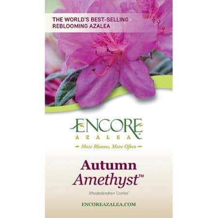 Encore Azalea Autumn Amethyst