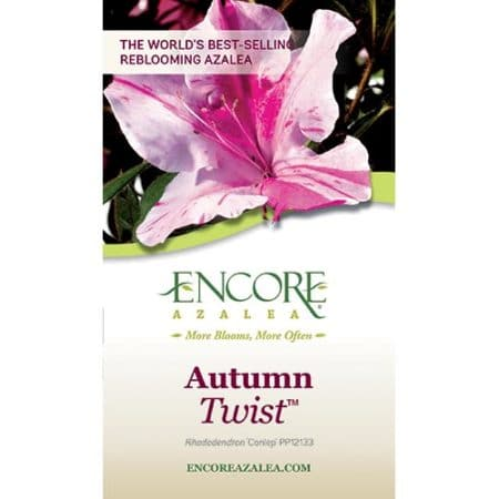 Encore Azalea Autumn Twist