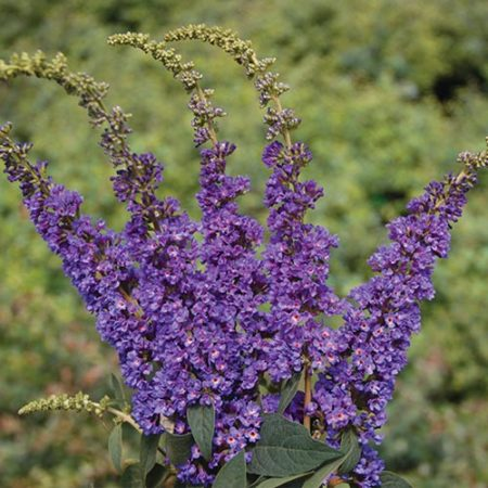 Proven Winner Buddleia Lo and Behold Blue Chip Jr.