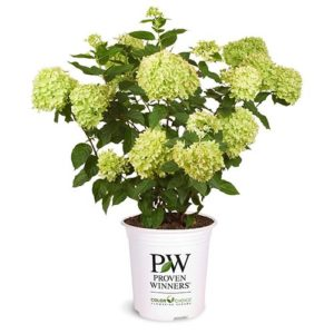 Proven Winner Hydrangea Little Lime