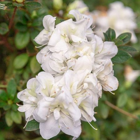 Encore Azalea Moonlight