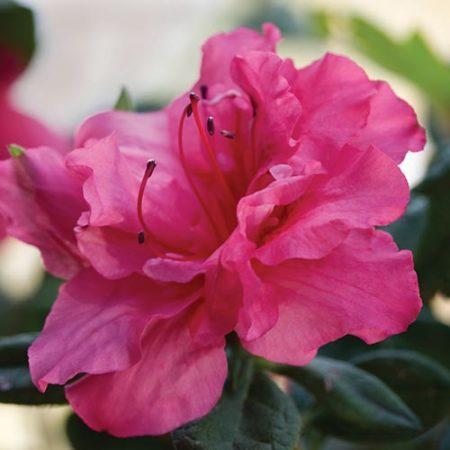 Encore Azalea Autumn Rouge