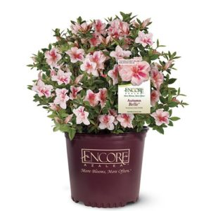 Encore Azaleas Autumn Belle