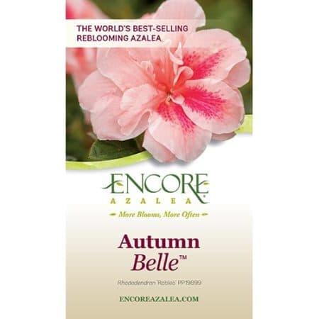 Encore Azaleas Autumn Belle