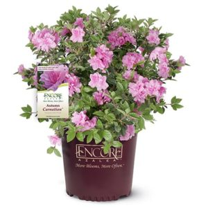 Encore Azalea Autumn Carnation