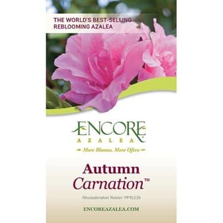 Encore Azalea Autumn Carnation