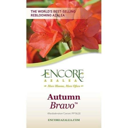 Encore Azalea Autumn Bravo