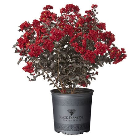 Black Diamond Crepe Myrtle pot