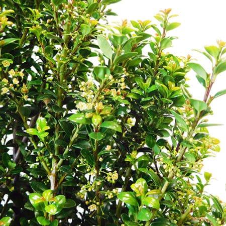 Steeds Upright Japanese Holly (Ilex)