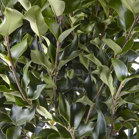 Ligustrum Recurvifolium