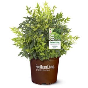 Southern Living Nandina Lemon Lime